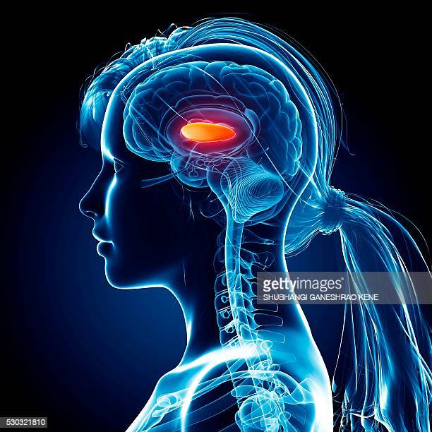 female brain, computer artwork. - diencephalon stock photos and pictures