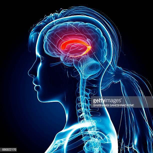female brain, computer artwork. - cerebrum stock photos and pictures