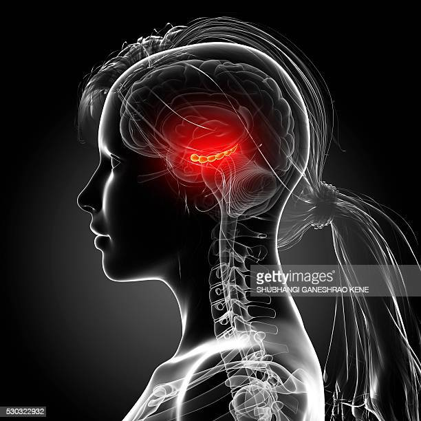 female brain, computer artwork. - cerebrum stock pictures, royalty-free photos & images