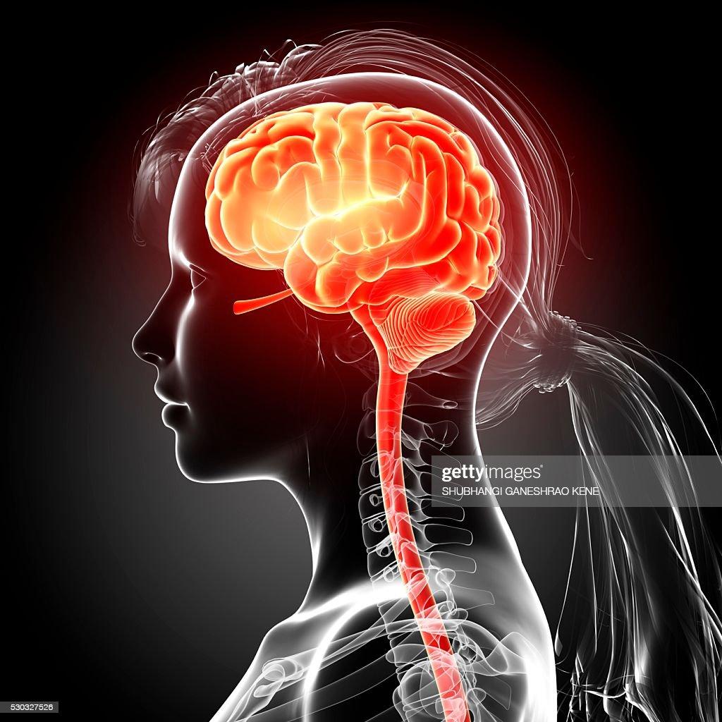 Female brain, computer artwork. : Stock Photo