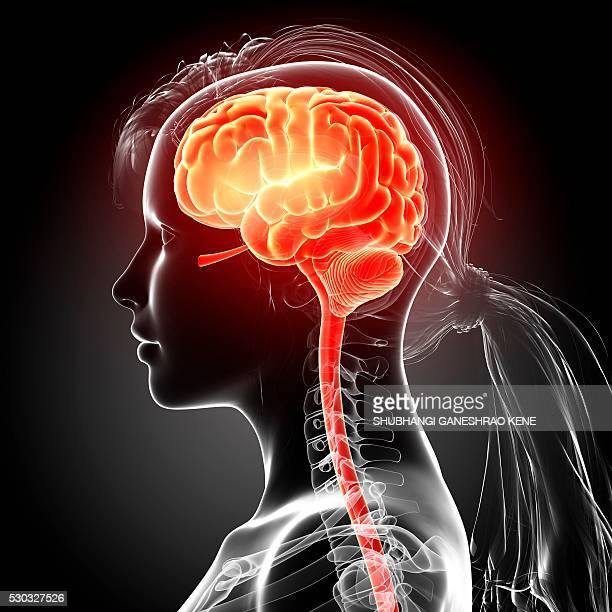 Female brain, computer artwork.