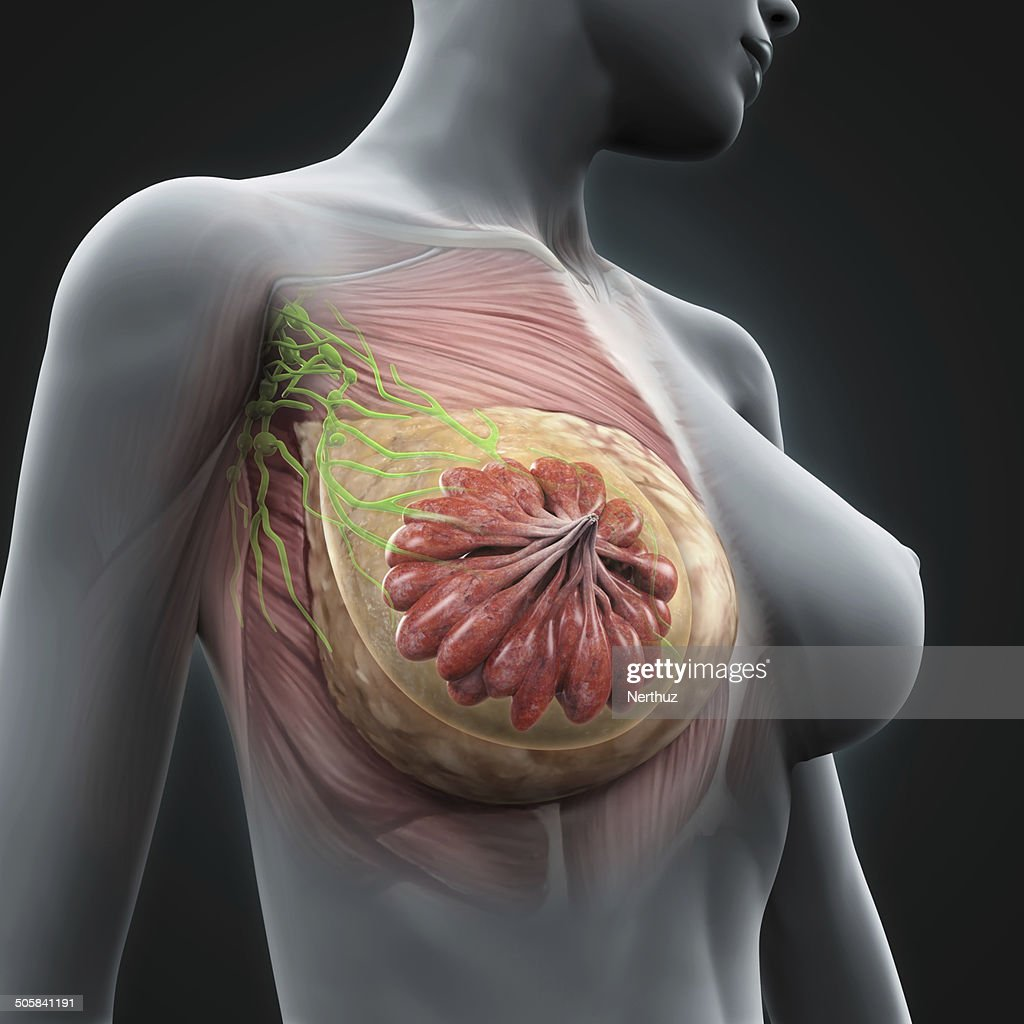 Female Breast Anatomy Stock Photo   Getty Images