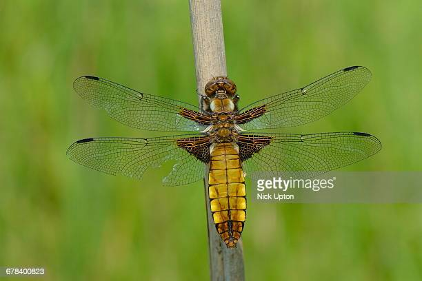 Female broad bodied chaser dragonfly (Libellula depressa) with one damaged wing resting on a reed stem, Wiltshire, England, United Kingdom, Europe