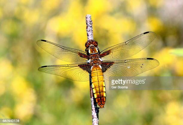 Female Broad Bodied Chaser