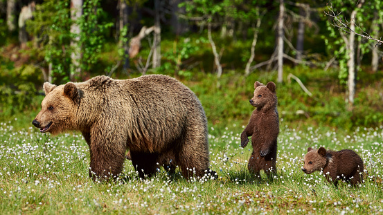 Female brown bear and her cubs 1087657540