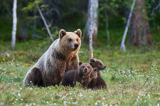 Female brown bear and her cubs 1148382085