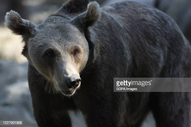 Female Brown bear is seen in her enclosure at Madrid zoo. The brown bear is the largest terrestrial carnivore. In wildlife it is distributed across...