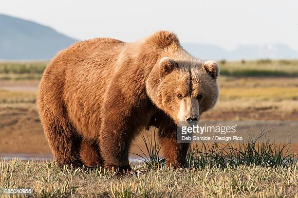 female brown bear (ursus arctos), katmai national park - grizzly bear stock pictures, royalty-free photos & images