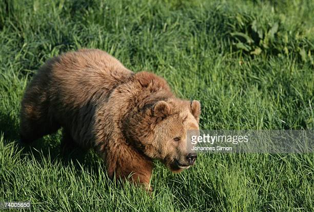 Female brown bear Mia strolls in the wildlife park on April 27 in Poing, Germany. There is a discussion in Bavaria over reintroducing bears into the...