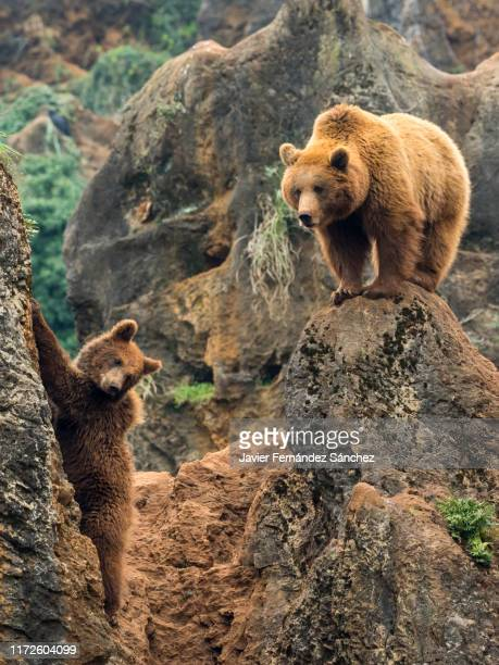 a female brown bear observes from the top of a rock how her cub climbs. ursus arctos. - カンタブリア ストックフォトと画像