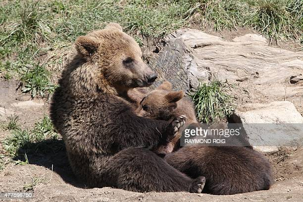 A female brown bear suckles cubs on June 18 2015 in the semiwildlife animal park of Les Angles southwestern France AFP PHOTO / RAYMOND ROIG