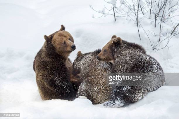 Female brown bear suckling two 1yearold cubs in the snow in winter