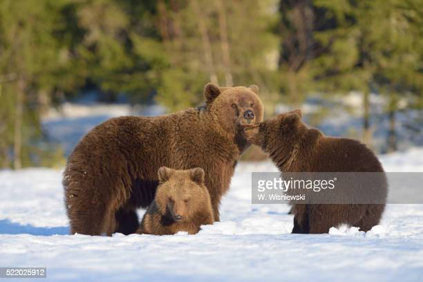 female brown bear with two cubs on a bog covered with snow - welp stockfoto's en -beelden