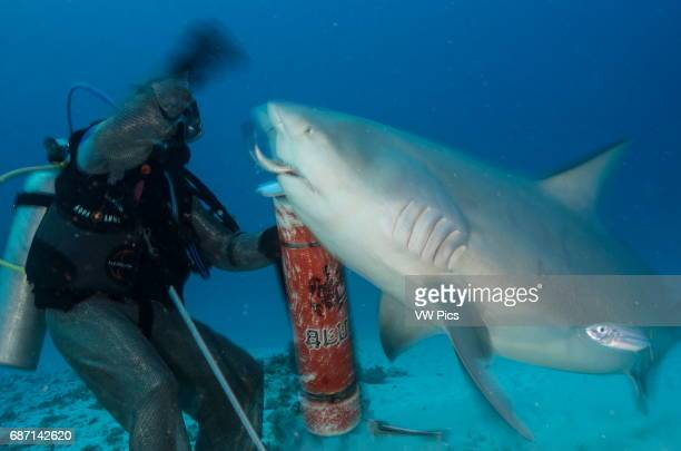 Female Bull shark, Carcharhinus leucas, hand feeding by a scuba diver near Playa Del Carmen, Mexico at the Caribbean sea.