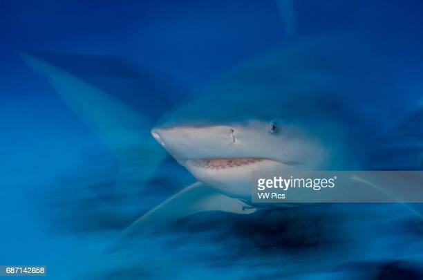 Female Bull shark, Carcharhinus leucas, portrait near Playa Del Carmen, Mexico at the Caribbean sea.