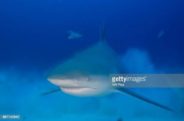 female Bull shark Carcharhinus leucas swimming towars the camera near Playa Del Carmen Mexico at the Caribbean sea