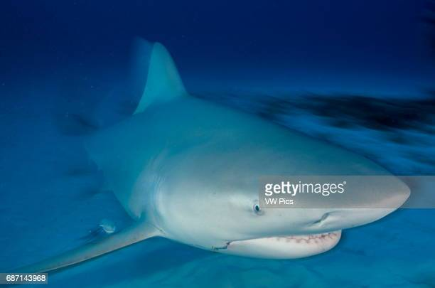 Female Bull shark, Carcharhinus leucas, swimming towars the camera near Playa Del Carmen, Mexico at the Caribbean sea.