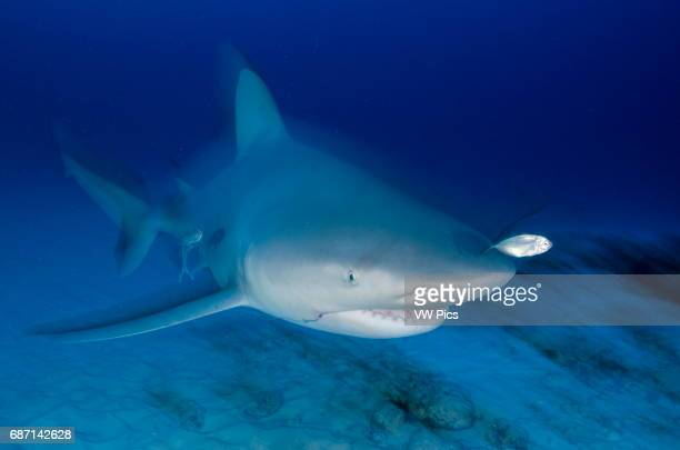 female Bull shark Carcharhinus leucas swimming towars the camera with a fishing hook in her mouth near Playa Del Carmen Mexico at the Caribbean sea