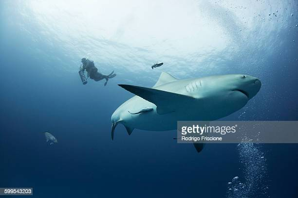 a female bull shark cruises mid water while a diver ascends on the background, playa del carmen, quintana roo, mexico - bull shark stock pictures, royalty-free photos & images