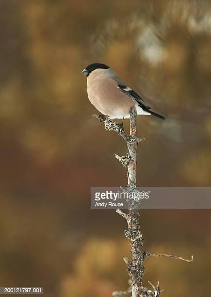 Female bullfinch (Pyrrhula pyrrhula) perched on twig