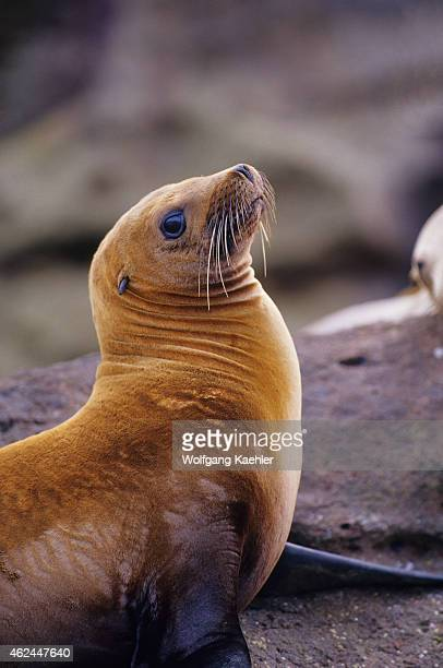 A female California sea lion on the rocks of the Los Islotes Islands in Baja California Mexico the most southern breeding colony
