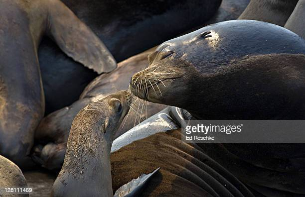 female california sea lion with pup, zalophus californianus, monterey bay, moss landing, california, usa. its continual honking bark is characteristic compared to the northern sea lion. - ed reschke photography stock photos and pictures