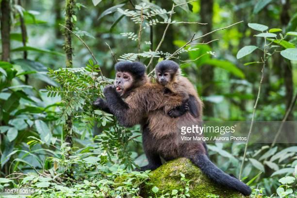 female capuchinmonkey with infant, itatiaianational park, riodejaneiro, brazil - capuchin monkey stock pictures, royalty-free photos & images