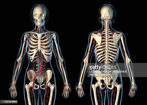 Female cardiovascular and skeletal systems, illustration