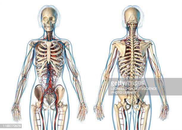 female cardiovascular and skeletal systems, illustration - blood flow stock pictures, royalty-free photos & images
