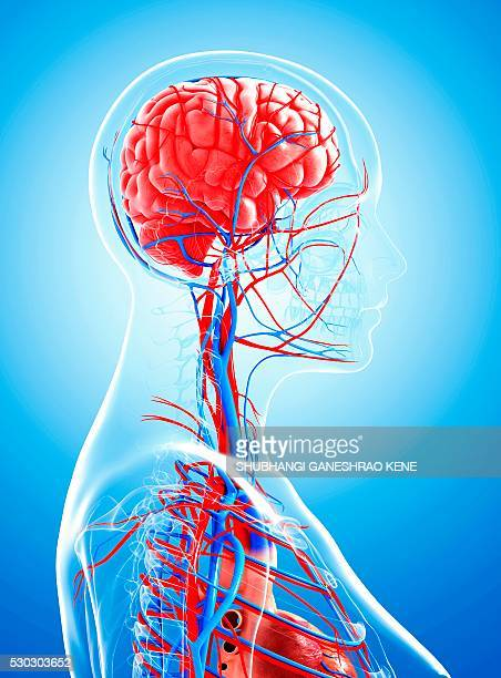 female cardiovascular system, computer artwork. - cerebrum stock pictures, royalty-free photos & images