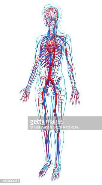 Femoral Vein Stock Photos And Pictures Getty Images