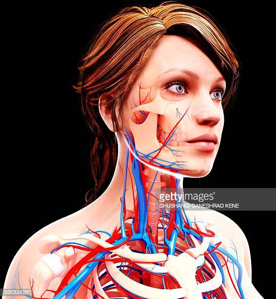 female cardiovascular system, computer artwork. - human artery stock photos and pictures