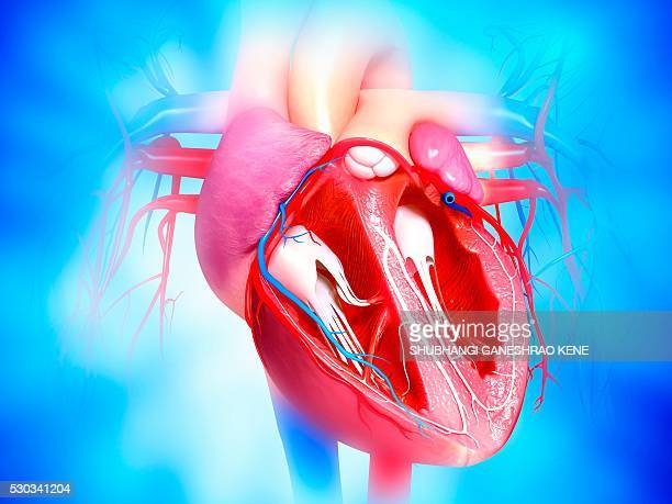 Female cardiovascular system, computer artwork.