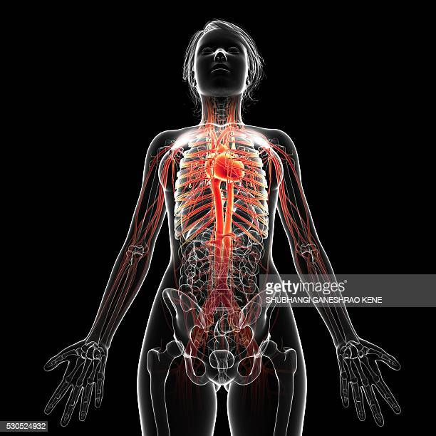 female cardiovascular system, computer artwork. - waist up stock pictures, royalty-free photos & images