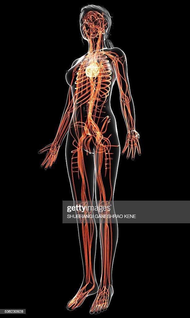 Female cardiovascular system, computer artwork. : Stock-Foto
