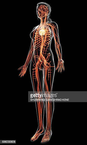 female cardiovascular system, computer artwork. - blood flow stock pictures, royalty-free photos & images
