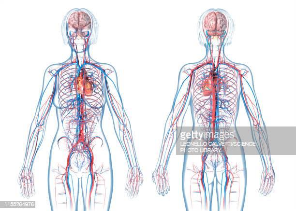 Female cardiovascular system, illustration