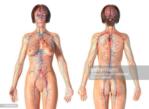 female cardiovascular system, illustration - blood flow stock pictures, royalty-free photos & images