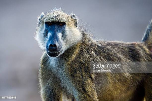 A female Chacma Baboon looking at the camera.