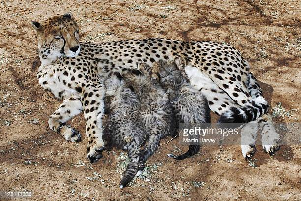 Female Cheetah, Acinonyx jubatus, with suckling cubs. Endangered species. Namibia. Dist. Africa & Middle East.