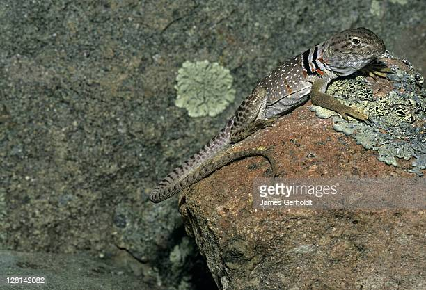 female chihuahuan collared lizard, crotaphytus collaris fuscus, luna county, new mexico, usa - squamata stock photos and pictures