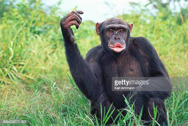 female chimpanzee (pan troglodytes) calling - funny monkeys stock photos and pictures