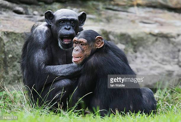 Female Chimpanzee 'Fifi' interacts with a younger chimp at Taronga Zoo on her 60th birthday May 21 2007 in Sydney Australia Fifi is the oldest of the...