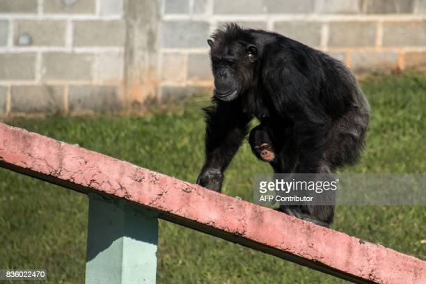 A female chimpanzee holds a baby chimpanzee at the Great Apes Project a sanctuary for apes in Sorocaba some 100km west of Sao Paulo Brazil on July 28...