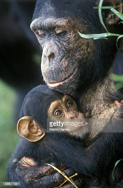 female chimpanzee nursing baby, pan troglodytes, zambia, africa - hot nurse stock photos and pictures