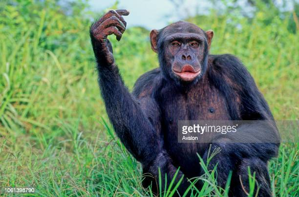 Female Chimpanzee vocalizing expecting food at sanctuary in Zambia Date 250608