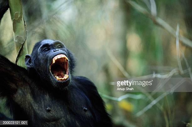female chimpanzee (pan troglodytes) yawning - chimpanzee teeth stock pictures, royalty-free photos & images