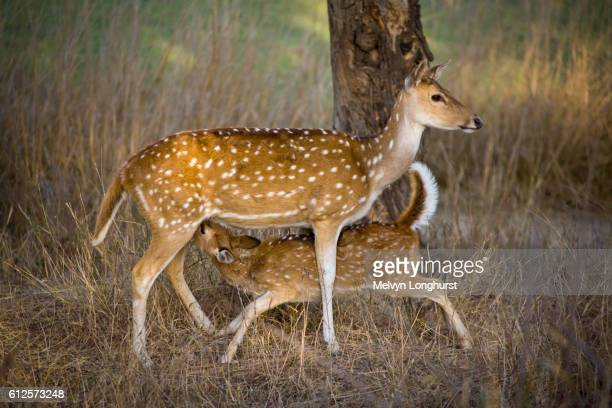 Female Chital deer, Axis axis, feeding her young offspring, Ranthambhore National Park, Rajasthan, India