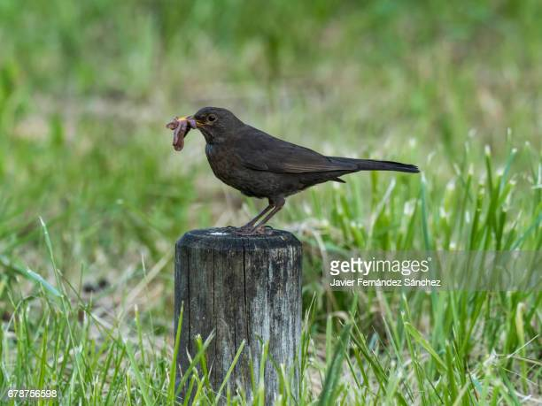 a female common blackbird (turdus merula) with a few worms in the beak to carry them to the nest in the breeding season. - merel stockfoto's en -beelden