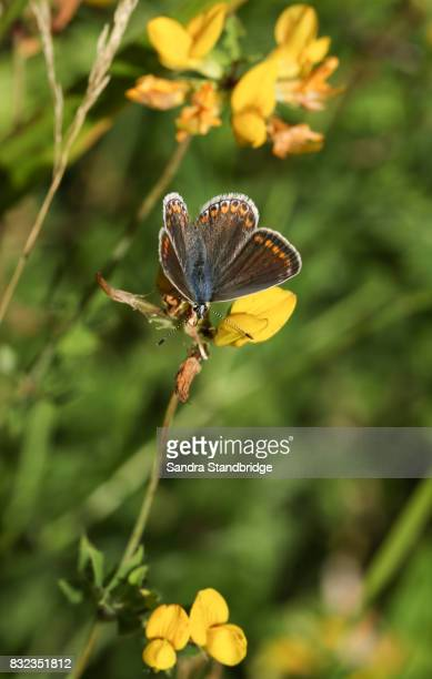 a female common blue butterfly (polyommatus icarus) perched on a yellow flower. - hertford hertfordshire stockfoto's en -beelden